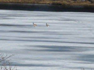 Two Canada Geese strolling across the ice on the Humber.
