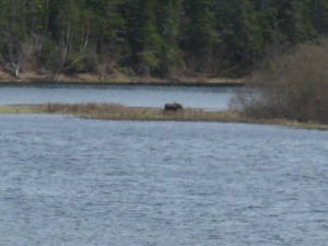 Moose feeding on Junction Brook Point.