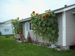 Gigantic sunflowers grown by Ford and Faye Janes, Reidville Rd.